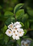 Wild Raspberry Blossom