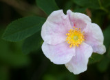 Faded Prairie Rose