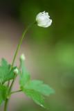 Thimbleweed Bud