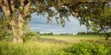 Oak Tree and Field