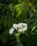 Yarrow in the Weeds