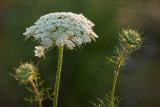 Queen Anne's Lace 2012
