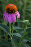 Purple Coneflower and Bud
