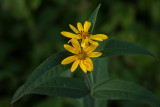Woodland Sunflower 2012