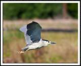 Black Crowned Night Heron In Flight