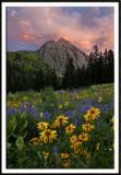 Wildflowers in the Sneffels Wilderness