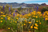 Sonoran Desert Bloom at Bartlett Lake
