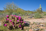 Hedgehog Cactus Bloom