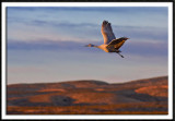 Sandhill Crane In Morning's First Light