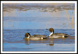 Thirsty Pintails