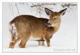 Cerf de VirginieWhite-tailed deer