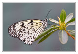 Papillon Leuconoé • Butterfly