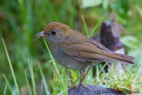 Grive à calotte rousseRuddy-capped Nightingale-ThrushCatharus frantzii