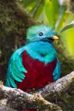 Quetzal resplendissantResplendant QuetzalPharomachrus mocinno