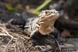 CtenosauraBlack Iguana, Iguana negra