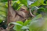 Paresseux à deux doigtsTwo-toed Sloth, Perezoso de dos dedos, Choloepus hoffmanni