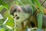 Singe écureuilSquirrel Monkey, Mono Tití, Saimiri oerstedii