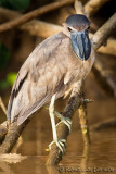Savacou huppéBoat-billed Heron, Cochlearius cochlearius
