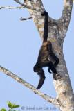 Singe hurleurMantled Howler Monkey, Mono Congo, Alouatta palliata