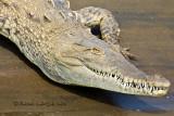 Crocodile américainAmerican Crocodile, Cocodrilo, Crocodilus acutus