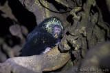 Porc-épicMexican Hairy Porcupine, Puercoespín, Coendou mexicanus