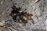 TarantuleTarantula, Lycosa Tarentula