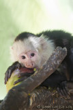 Capucin à face blanche / Capucin moineWhite-faced Capuchin, Mono Carablanca, Cebus capucinus
