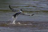 Martin-pêcheur d'AmériqueBelted Kingfisher