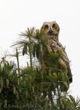 Grand-duc d'AmériqueGreat-horned Owl