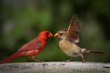 Cardinaux rougesNorthern Cardinals