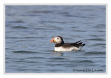 Macareux moineAtlantic Puffin