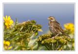 Bruant des présSavannah Sparrow