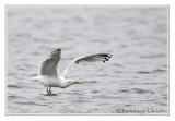 Goéland argentéHerring Gull