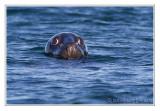 Phoque grisGrey Seal