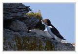 Petit pingouinRazorbill