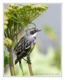 Paruline à croupion jauneYellow-rumped Warbler