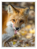 Renard rouxRed Fox