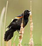 Carouge à épaulettesRed-winged Blackbird