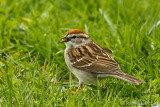 Bruant familierChipping Sparrow