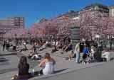 Blommande körsbärsträd