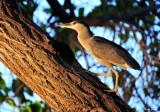 black-crowned night heron, or 'auku'u, Makaiwa Bay, Big Island, Hawaii