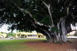 Banyon tree, Hawi Farmers Market, Hawi, Hawaii