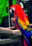 Parrot,  Hawaii Tropical Botanical Garden, Hawaii