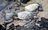turtles, Anaehoomalu Beach, Waikoloa, Big Island, Hawaii