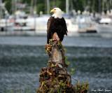 Bald Eagle, Sitka, Southeast Alaska