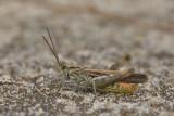 grasshopperssprinkhanen