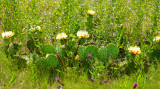 Prickly Pear Among Wildflowers