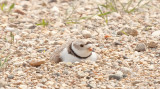 Piping-Plover-4616.jpg