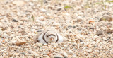 piping-plover-4621.jpg