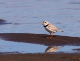 piping-plover-VII.jpg